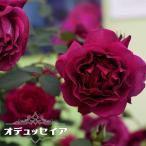 バラ苗 オデュッセイア ロサオリエンティス大苗 6号ポット 赤色 バラ 苗 四季咲き 中輪