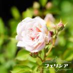 バラ苗 フェリシア 大苗 オールドローズ トゲが少ない 四季咲き ピンク 強香 強健 バラ苗木
