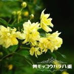 バラ苗 黄 モッコウバラ 八重 (オールドローズ) ポット苗黄色 バラ バラ苗木