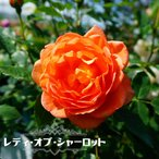 【バラ苗】 レディ オブ シャーロット ( イングリッシュローズ )6号ポット 大苗 強健