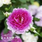 バラ苗 シェエラザード 大苗 木立バラ ロサオリエンティス 四季咲き ピンク 紫色 バラ苗木