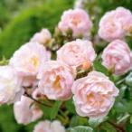 バラ苗 ザ・レディ・オブ・ザ・レイク 大苗 イングリッシュローズ 四季咲き カップ咲き 強健 バラ苗木