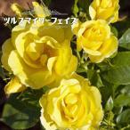 バラ苗 ツルスマイリーフェイス 大苗 つるバラ  黄色 バラ 苗