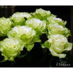 バラ苗 わかな 大苗 ロサオリエンティス木立バラ FG 白のかくれんぼ 四季咲き ハイブリッドティー 大輪 予約販売2017年1月中旬頃お届け予定