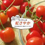さくらんぼ 苗木 紅さやか 1年生 接ぎ木 苗 サクランボ 果樹 果樹苗