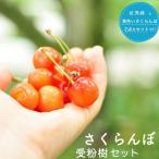 人気のサクランボ 受粉樹2点セット(黄色いサクランボと紅秀峰 ) 1年生 接ぎ木 苗 果樹 果樹