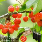 人気のサクランボ 受粉樹3点セット (さおり、佐藤錦、紅秀峰 ) 1年生 接ぎ木 苗