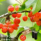 人気のサクランボ 受粉樹2点セット (さおりと紅秀峰) 1年生 接ぎ木 苗