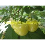さくらんぼ 黄色いサクランボ 1年生 接ぎ木 苗 サクランボ 果樹 果樹苗