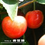 さくらんぼ 香夏錦 1年生 接ぎ木 苗 サクランボ 果樹