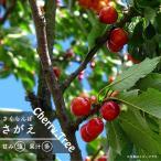 さくらんぼ 苗木 さがえ 1年生 接ぎ木 苗 サクランボ 果樹 果樹苗