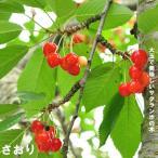 さくらんぼ さおり 1年生 接ぎ木 苗 サクランボ 果樹