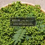 山椒 苗 トゲなし実サンショウ 朝倉山椒 根腐れ抵抗性台木使用 1年生 特等 接ぎ木 苗