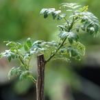 山椒 サンショウ 苗 ぶどう山椒 1年生 接ぎ木 苗 木の芽