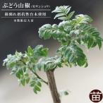 山椒 サンショウ 苗 ぶどう山椒 根腐れ抵抗性台木使用 2年生 特等 接ぎ木 角鉢苗