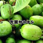 サルナシ 大実サルナシ 苗木 果樹 果樹苗
