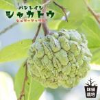 沖縄産シャカトウ (バンレイシ) (シュガーアップル)7号ポット大苗