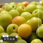 ショッピング梅 梅 苗木 加賀地蔵 (かがじぞう) PVP 1年生 接ぎ木 苗 果樹 果樹