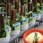 バニラの木 3号ポット苗 (鉢カバー付き)  バニラ バニラビーンズ 果樹 つる性 観葉植物