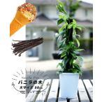 バニラの木 大サイズ 50cm  バニラ バニラビーンズ 果樹 つる性 観葉植物