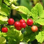 ゆすらうめ 赤実ユスラウメ 2年生 接ぎ木 ロングスリット鉢苗 果樹 果樹苗 鉢植え 木