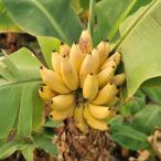 ドワーフモンキーバナナの苗