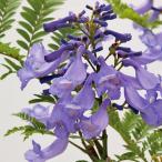 わい性ジャカランダ「ブルーブロッサムビューイング」の苗木