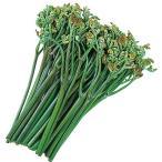 山菜・蕨(わらび)の苗