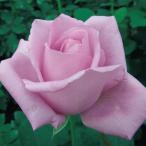 薔薇(バラ)の苗木 HT ブルームーン(5号接木苗)