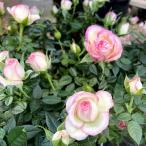 薔薇(バラ) ミニバラ・カルーセル コルダナの苗