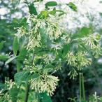 夜香木(ナイトジャスミン)の苗 9cmポット