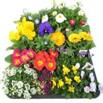 お花屋さんのおまかせ季節の花苗セット(20苗) 寄せ植え・花壇用に