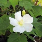 芙蓉(フヨウ)白花の苗