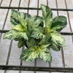 斑入り葉ハイドランジア(アジサイ) スフレの苗