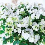 ハイドランジア(アジサイ)  ラグランジア ブライダルシャワーの苗