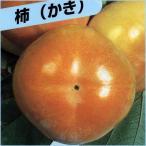 甘柿(カキ)苗木 次郎柿