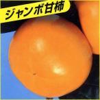 甘柿(カキ)苗木 太秋柿
