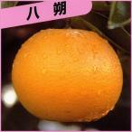 花育通販Yahoo!店で買える「柑橘類の苗木 八朔(ハッサク)」の画像です。価格は1,780円になります。