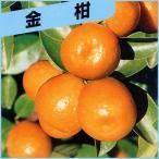 柑橘類の苗木 大実金柑(キンカン)