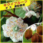 キウイフルーツ苗木(受粉用オス) トムリ