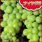 葡萄(ぶどう)苗木 ナイアガラ