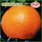 柑橘類の苗木 とげなしせとか