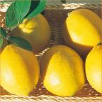 檸檬(レモン)の苗木 とげなしレモン