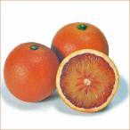 柑橘類の苗木 ブラッドオレンジ(タロッコオレンジ)【お取り寄せ品】
