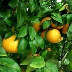 柑橘類の苗木 グレープフルーツ