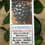 ブラックベリー「トリプルクラウン」の苗木