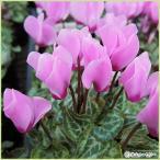 ガーデンシクラメン・ピンクの苗