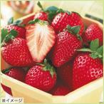 苺(イチゴ) とちおとめの苗(5苗セット)