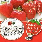 苺(イチゴ) まんぷく2号の苗