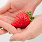 苺(イチゴ) よつぼしの苗